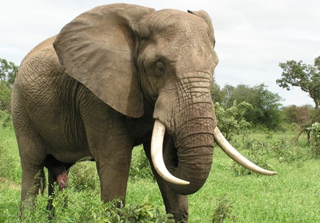 Most Dangerous Animal Elephant1 Most Dangerous Animals and How to Prevent, Safeguard and Escape from those Deadliest Animal Attack