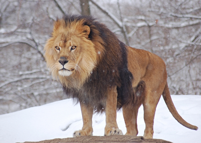 Most Dangerous Animal Lion1 Most Dangerous Animals and How to Prevent, Safeguard and Escape from those Deadliest Animal Attack