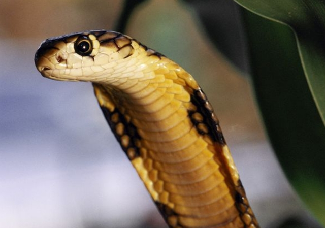 Most Dangerous Animal Venomous Snakes1 Most Dangerous Animals and How to Prevent, Safeguard and Escape from those Deadliest Animal Attack