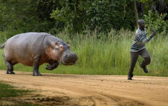 Prevent Safeguard and Escape from Hippopotamus Attack1 Most Dangerous Animals and How to Prevent, Safeguard and Escape from those Deadliest Animal Attack
